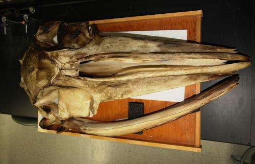 Baleen whales hear through their bones