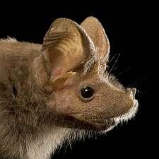 Bat species is first mammal found hibernating at constant warm temperatures