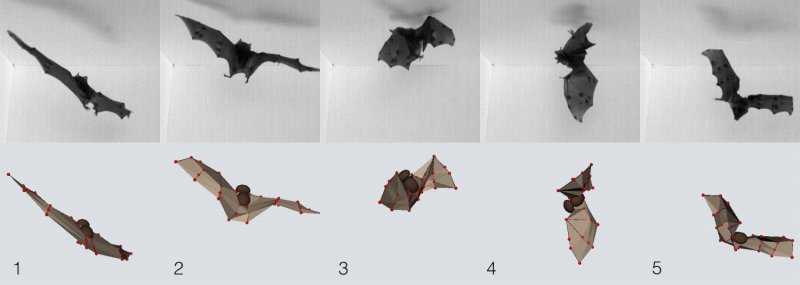 Bats use weighty wings to land upside down
