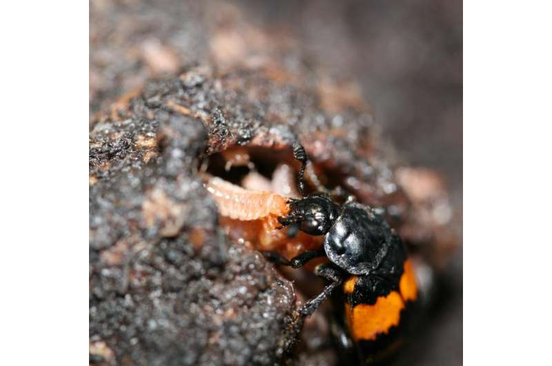 Beetles provide clues about the genetic foundations of parenthood