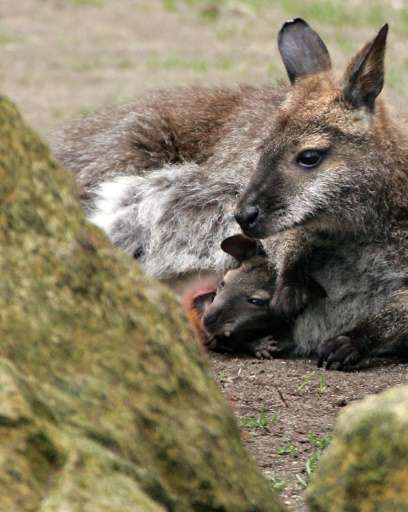 Bennett's wallabies don't have to worry about predators, as the 80-centimetre, 15 kilogram (2.6 feet, 30 pounds) animals are too