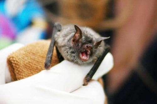 Bi-annual bat birthing helps Ebola persist