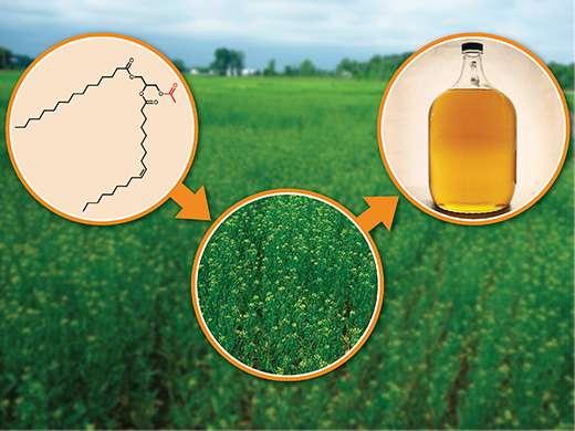 Biochemist studies oilseed plants for biofuel, industrial development