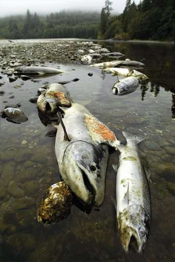 Biologists fear repeat of 2002 salmon kill in Klamath River
