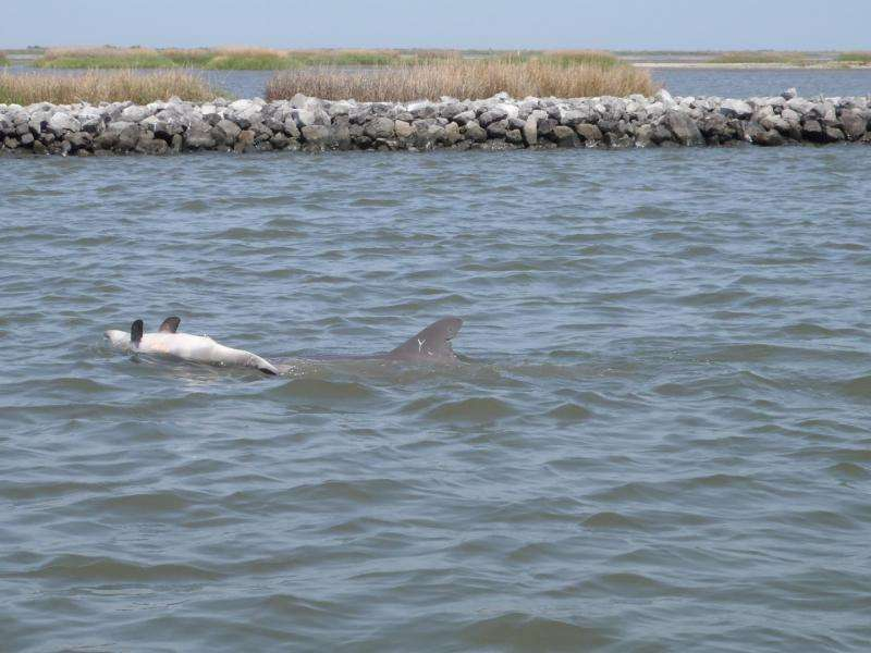 Births down and deaths up in Gulf dolphins