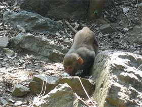 Body odor sets female rhesus monkeys apart