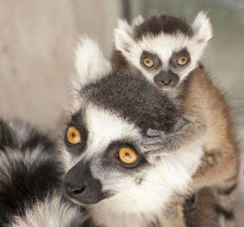 Boy or girl? Lemur scents have the answer