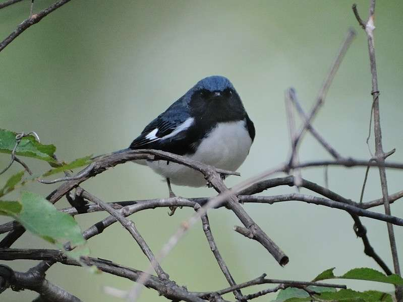 Breeding flexibility helps migratory songbirds adjust to climate warming