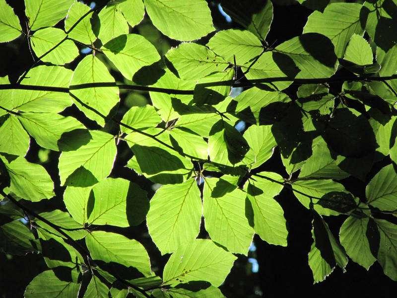 Broadleaf trees show reduced sensitivity to global warming
