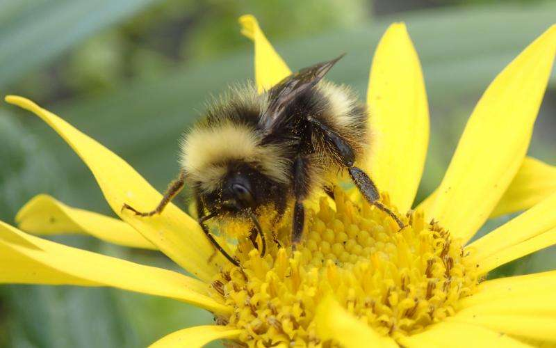Bumble bees in the last frontier