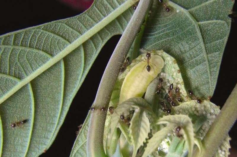 Butterflies deceive ants using chemical strategies