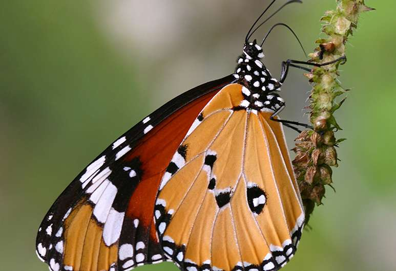 Butterfly mimicry through the eyes of bird predators