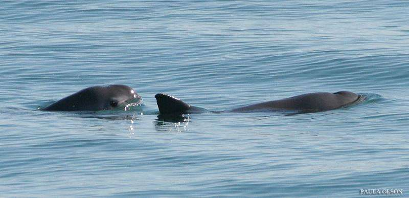 Bycatch threatens marine mammals, but new protections hold promise for Mexican vaquita
