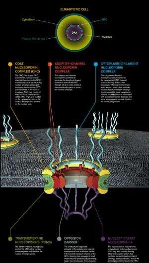 Caltech biochemist sheds light on structure of key cellular 'gatekeeper'