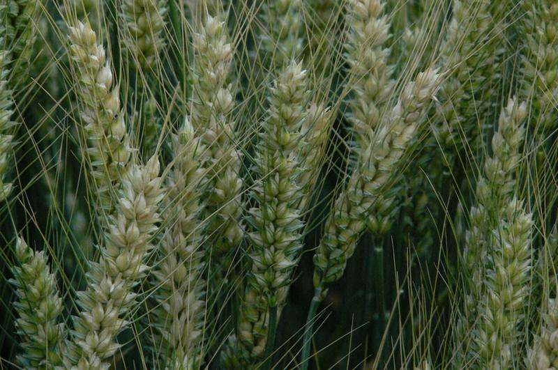 Canadian Genomics Project Is Leading the Way in Wheat Breeding Innovation