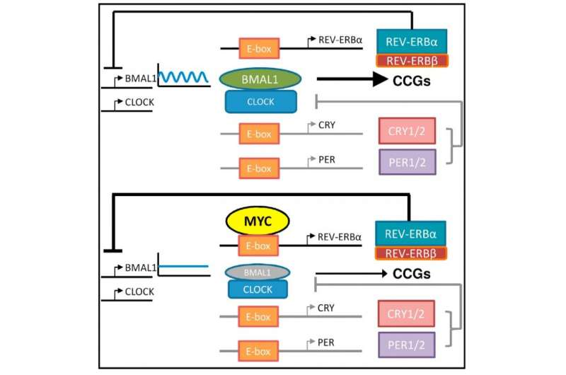 Cancer doesn't sleep: Myc oncogene disrupts clock and metabolism in cancer cells