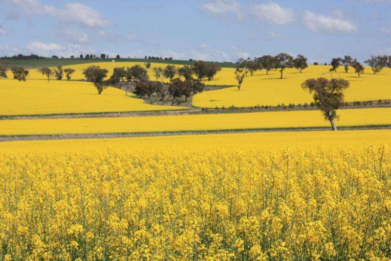 Canola seeds studied for superior strains