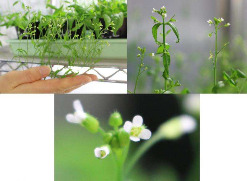 Cell fusion 'eats up' the 'attractive cell' in flowering plants