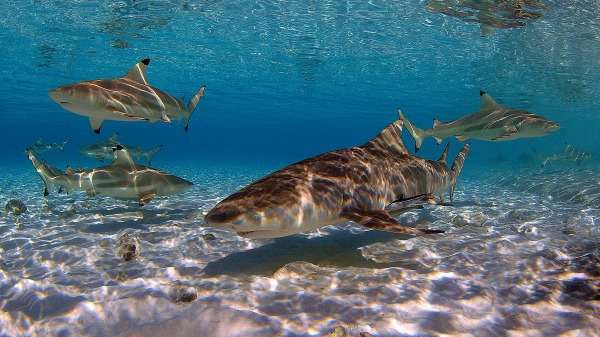 Certain shark mums favour travel while others stay at home