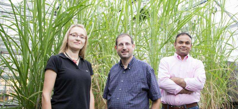 Chill-tolerant hybrid sugarcane also grows at lower temperatures, team finds