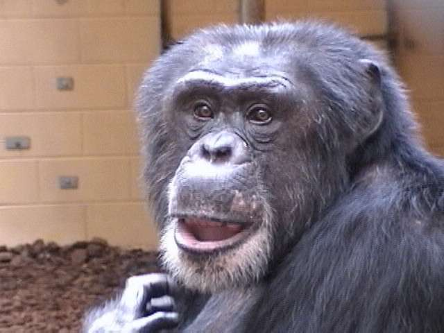 Chimpanzees may know when they are right and move to prove it
