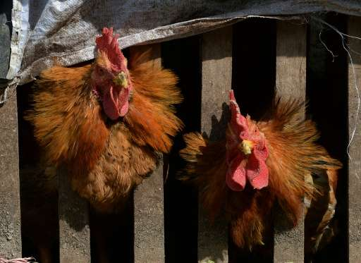 Chinese government researchers are using chickens, fish and toads to try to predict earthquakes, media reports