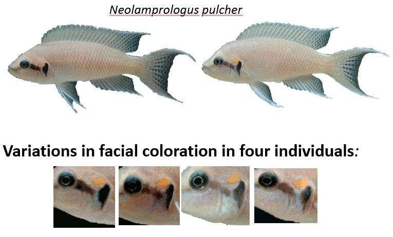 Cichlid fish view unfamiliar faces longer, from further distance than familiar faces