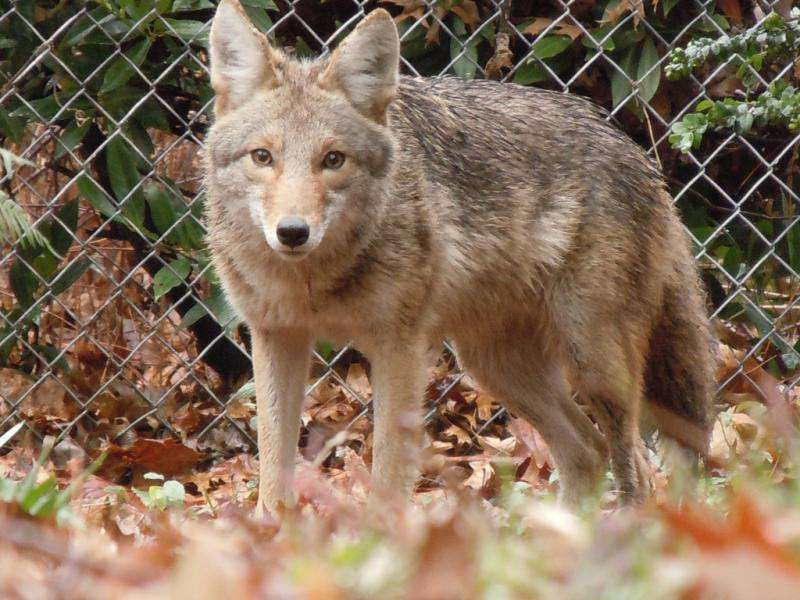 Cities adapt to growing ranks of coyotes, cougars and other urbanwildlife