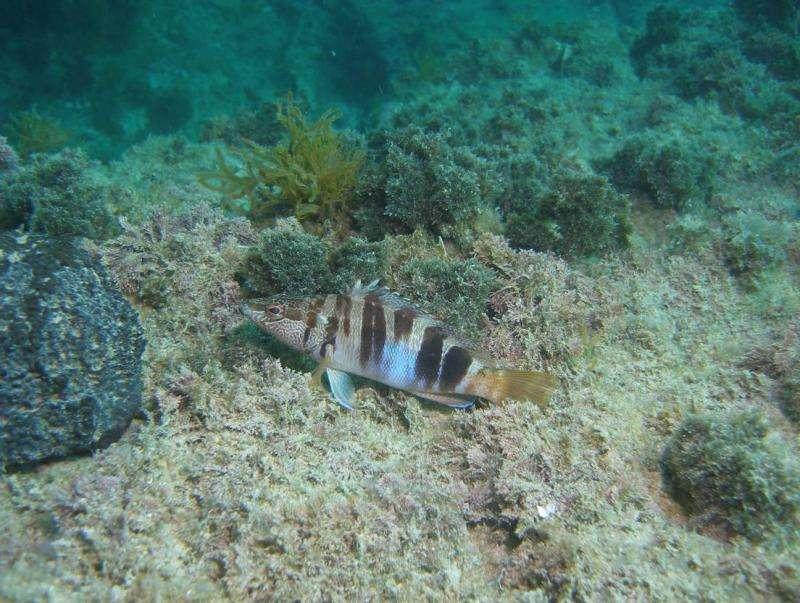 Clever fish around the coast of Mallorca Island