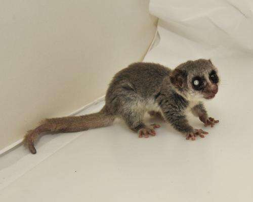 Clues to aging from long-lived lemurs