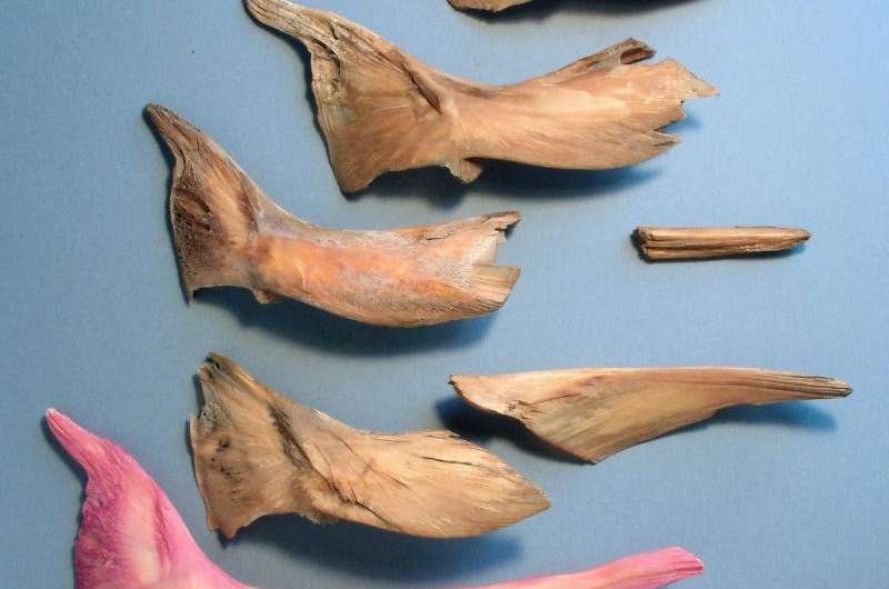 Cod bones from Mary Rose reveal globalized fish trade in Tudor England