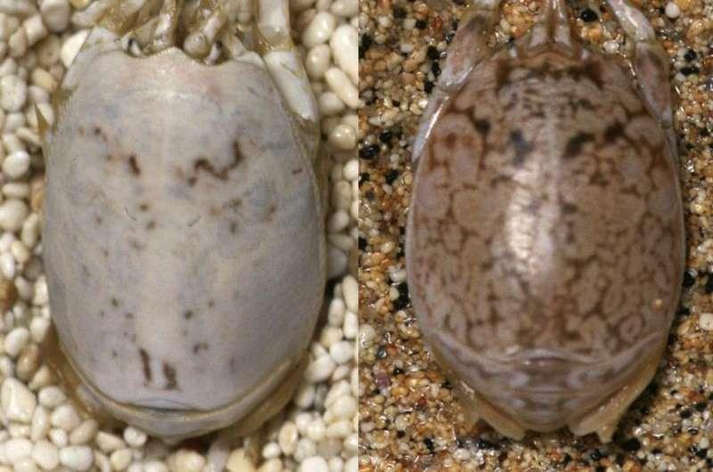 Color changing sand fleas flummox predatory birds
