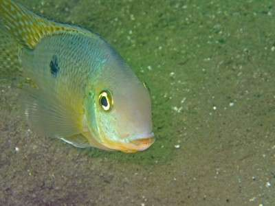 Colour matters in display of fish aggression