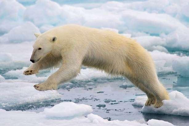Contaminants also a threat to polar bears