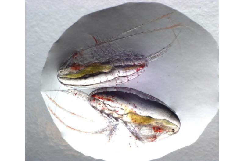 Copepod migrations are important for the ocean's uptake of CO2