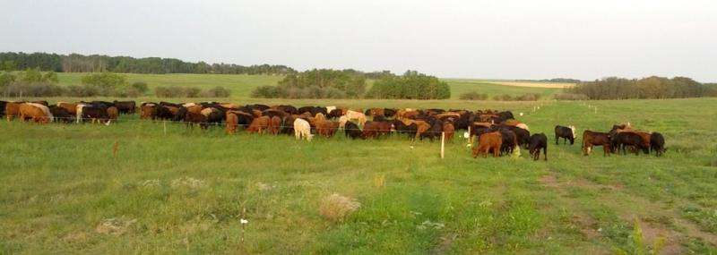 Cow-calf grazing practices could determine, mitigate greenhouse gas emissions