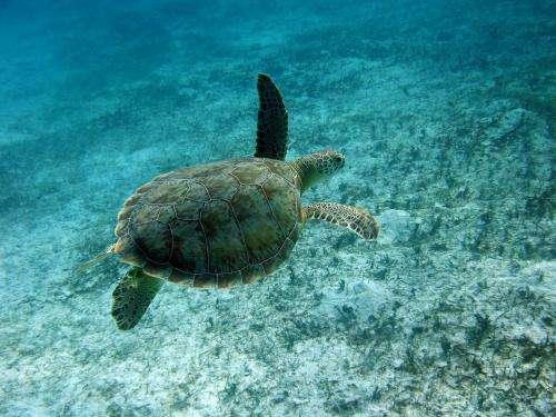 Critical green turtle habitats identified in Mediterranean