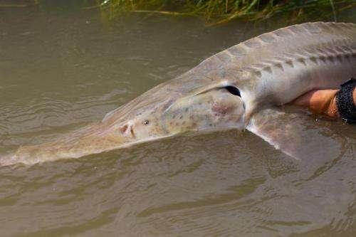 Culprit identified in decline of endangered Missouri River pallid sturgeon
