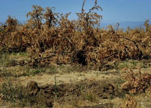 Dead plum trees that have been removed from the ground due to the lack of water in the drought-affected town of Monson, Californ