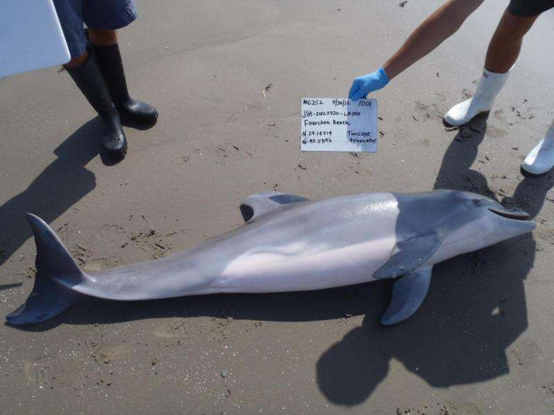 Deepwater Horizon oil spill contributed to high number of Gulf dolphin deaths