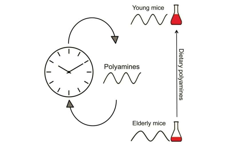Diet supplement keeps circadian clock from slowing down in aging mice
