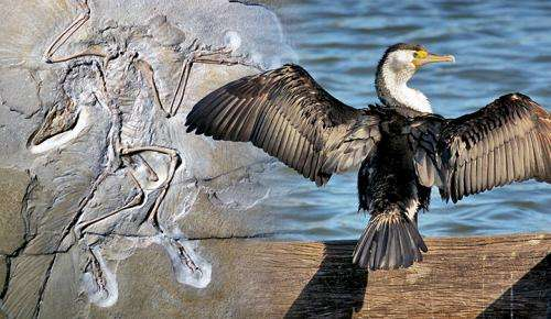 Differences in feathers shed light on evolution of flight