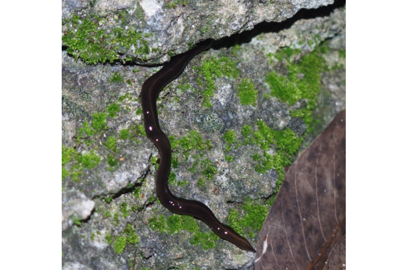 Discovery in the US of the New Guinea flatworm -- one of the worst known invasive species