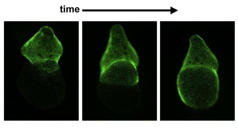 Duke study uncovers foundations of heart regeneration