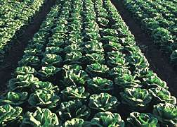 E. coli gets a boost from lettuce disease