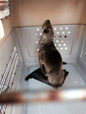 Emaciated sea lion rescued on San Francisco boulevard