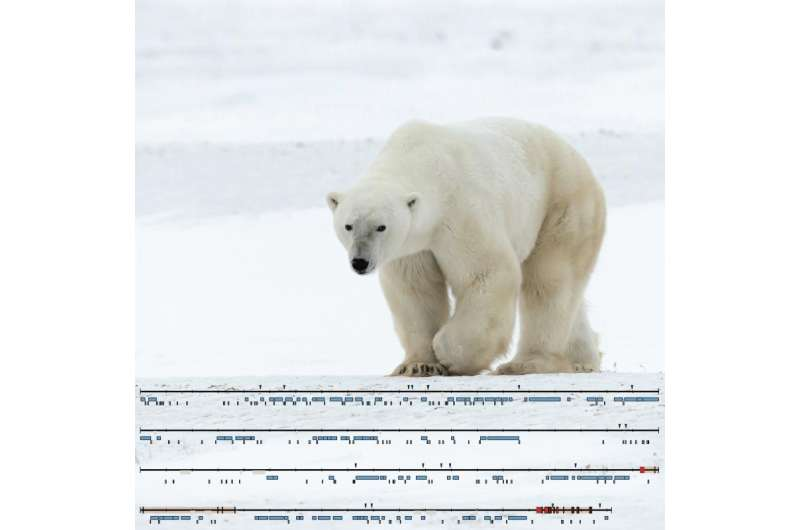 Essential parts of the polar bear Y chromosome decoded