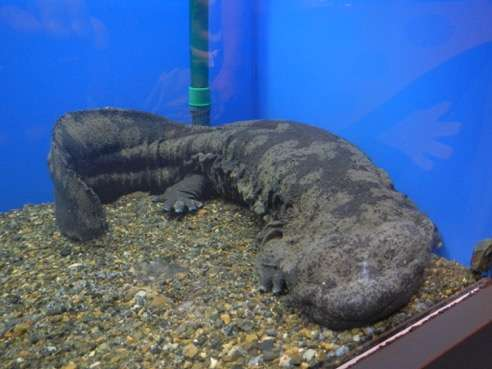Estimating the distribution of rare endemic and related exotic giant salamander species