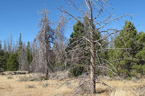 Evergreens at risk