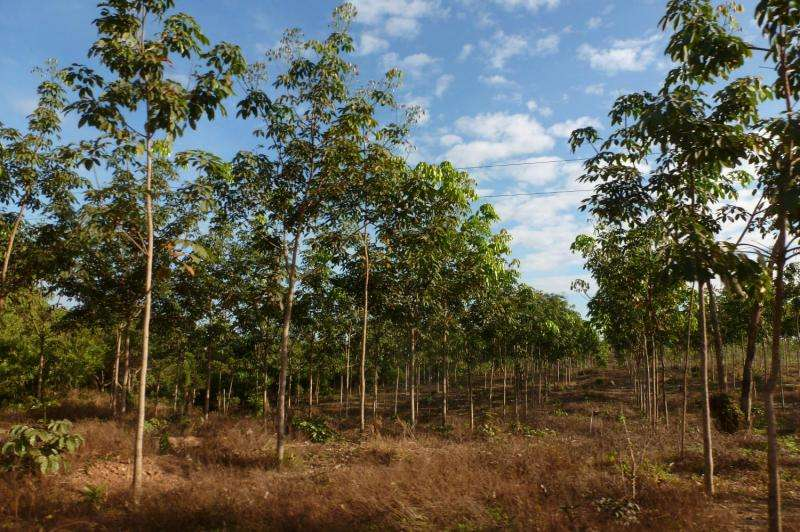 Expanding rubber plantations 'catastrophic' for endangered species in Southeast Asia